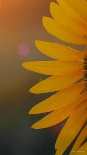 余晖中的太阳花花瓣