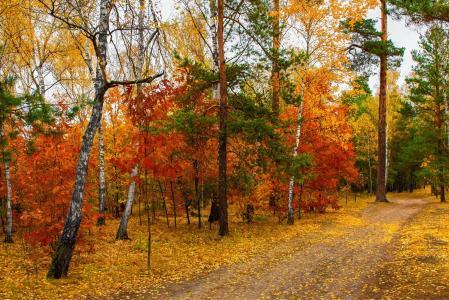 秋天,森林,树木,摄影师,迈克尔谢尔曼,秋天的树林,桦树,松树,路,秋叶