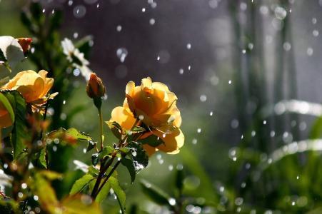 玫瑰,夏天,雨,一天,太阳