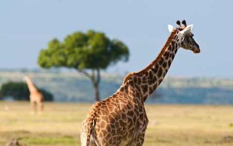 长颈鹿,树,非洲
