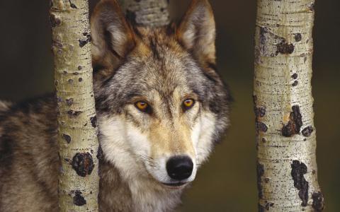 捕食者,森林,狼