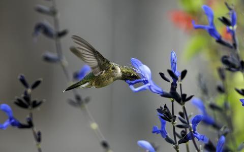 蜂鸟,花,场,蓝色,鸟,宏