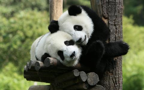熊猫,动物园,树,可爱的动物,熊,熊