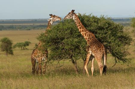 长颈鹿,草,动物,夫妇,树
