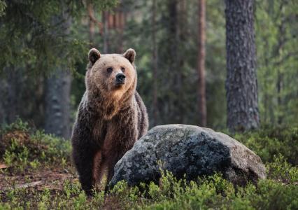 动物,熊,大自然,森林