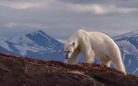 迈克·雷弗曼,动物,捕食者,熊,北极熊,山,雪,悬崖