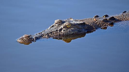 埋伏在水面上的鳄鱼