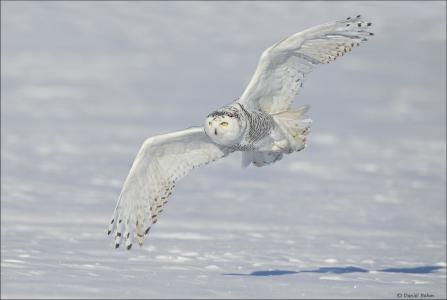 鸟,飞行,翅膀,雪,雪,猫头鹰,动物,猫头鹰