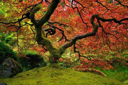 红色,日本庭园,自然,枫叶