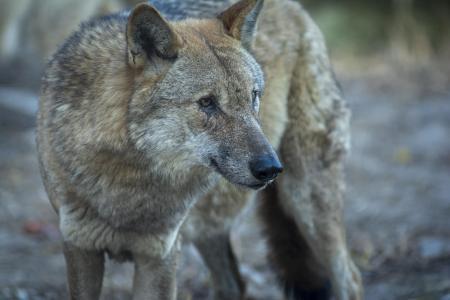 狡猾的灰狼