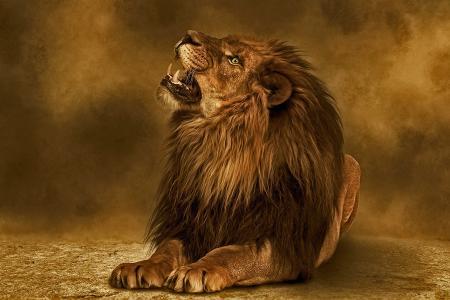 狮子,捕食者,背景,photoshop