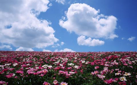 牡丹,地平线,云,场,鲜花