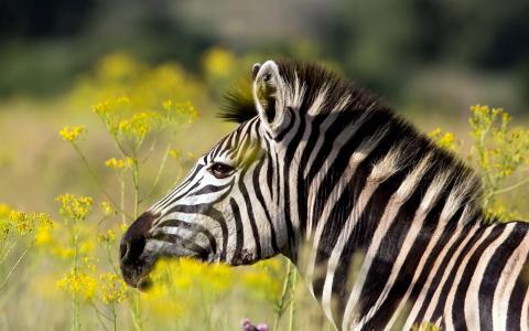斑马,夏天,鲜花,草,条纹,黑色,白色