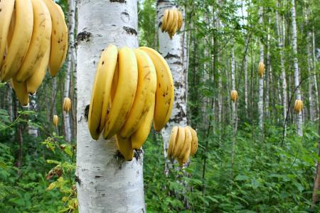 桦树,树林,香蕉,成长