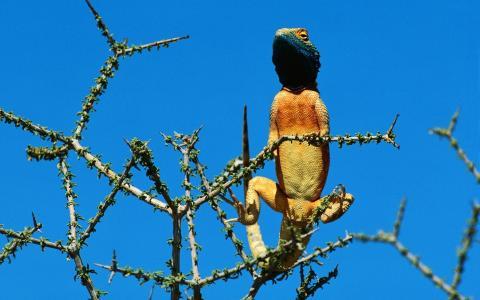 蜥蜴,黄色的腹部,树枝