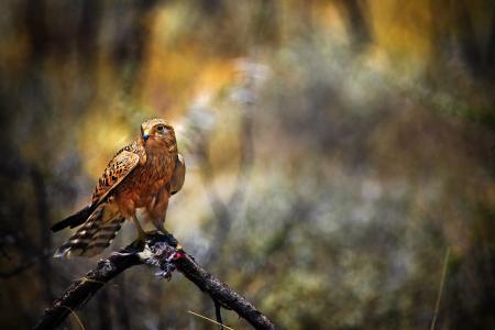 猎鹰,鸟,鹰,猎物,捕食者