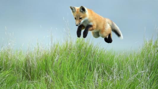 狐狸,草,跳