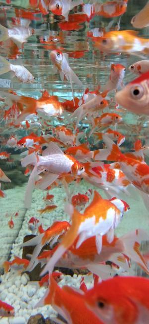 鱼缸里的小金鱼