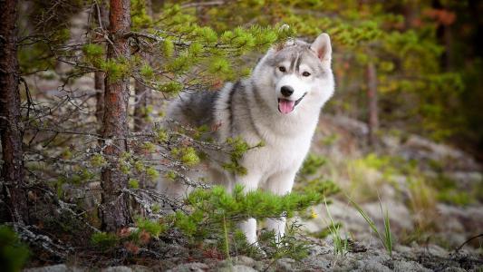哈士奇,性质,森林,狗,朋友