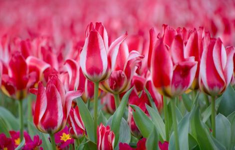 春天,鲜花,郁金香,叶子,报春花