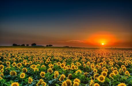 领域,夏天,向日葵,晚上,美丽,向日葵,开花