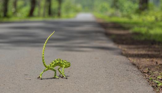 变色龙,道路,丛林,森林,尾巴