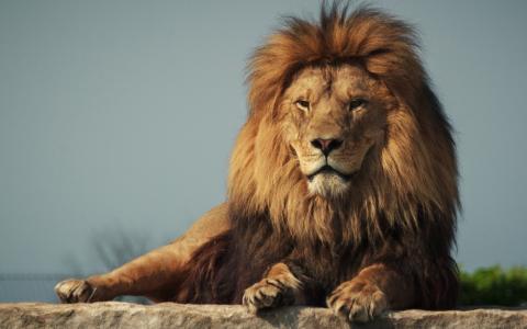 狮子,捕食者,石头,性质