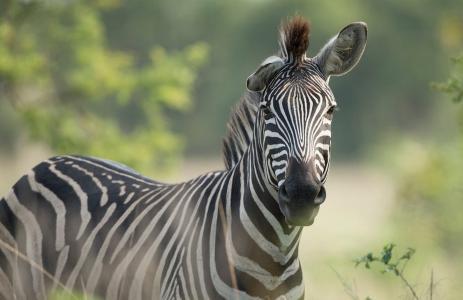 斑马,美丽,条纹
