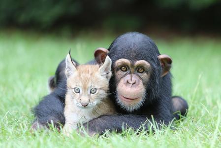 性质,动物,幼崽,猴子,黑猩猩,l,,草
