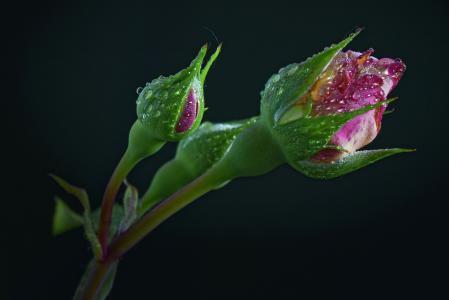 芽,花,滴,玫瑰,黑色的背景