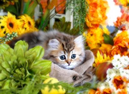 蓬松,灰色,小猫