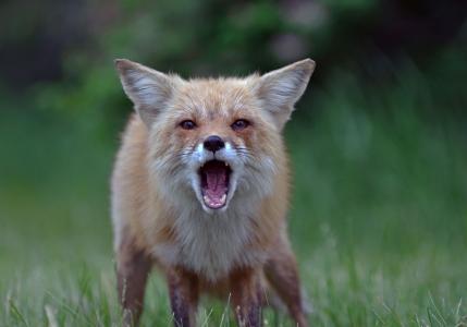 狐狸,狐狸,性质