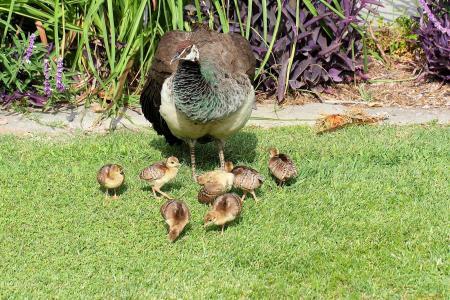 孔雀,草,草坪,鸟,孩子,鸡