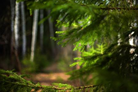 性质,森林,分支机构,针,云杉