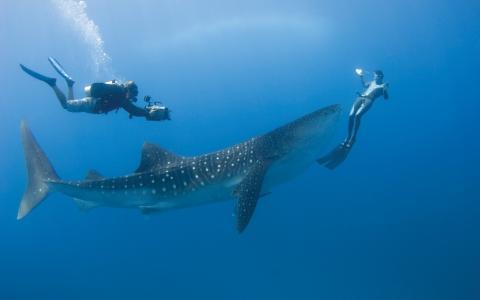照片,水下,潜水,鲨鱼,鲸鲨,超级照片