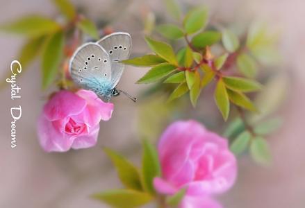 蝴蝶,玫瑰,叶子,宏,通过Krylova塔蒂亚娜