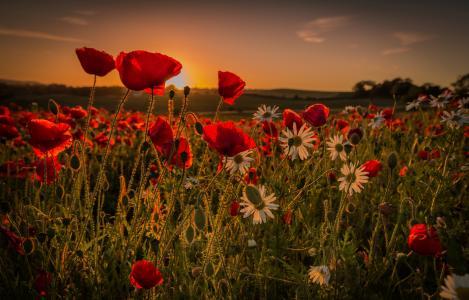 鲜花,夏天,太阳,美丽,罂粟花,chamomiles