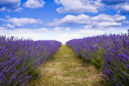 田野,天气好,薰衣草,紫色的花,南方