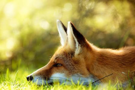 狐狸,耳朵,红色