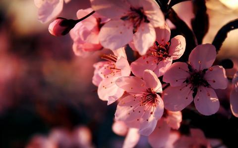 樱花,鲜花,樱桃,粉红色,分支,开花,春天