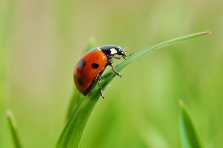 瓢虫,宏,绿党,背景,美丽