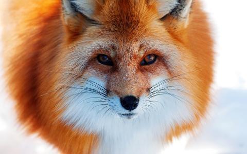 狐狸,鼻子,冬天