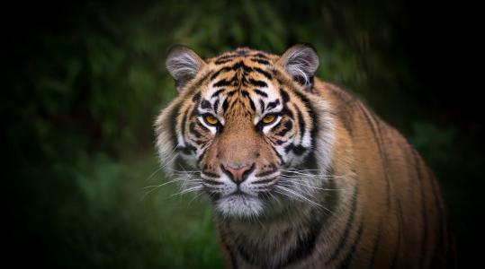 动物,老虎,美女,捕食者