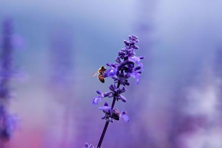 昆虫,植物,薰衣草,蜜蜂,丁香,花卉