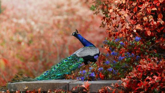 世界鸟,孔雀,鲜花