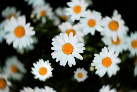 闲适淡雅的野雏菊
