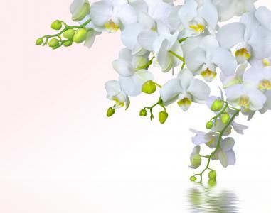兰花,photoshop,鲜花,阴影,水,白,背景