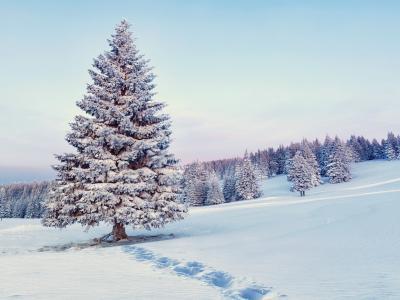 性质,冬季,冷杉,美丽,雪