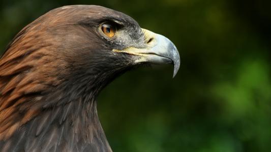喙,猎鹰,鸟,宏,头,鹰