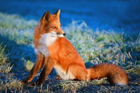 狐狸,尾巴,红色